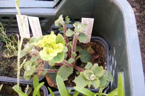 Селезеночник - фото, посадка и уход за растением