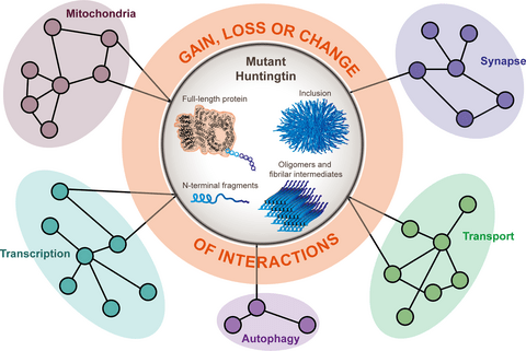 The pathobiology of perturbed mutant huntingtin protein–protein  interactions in Huntington's disease - Wanker - 2019 - Journal of  Neurochemistry - Wiley Online Library