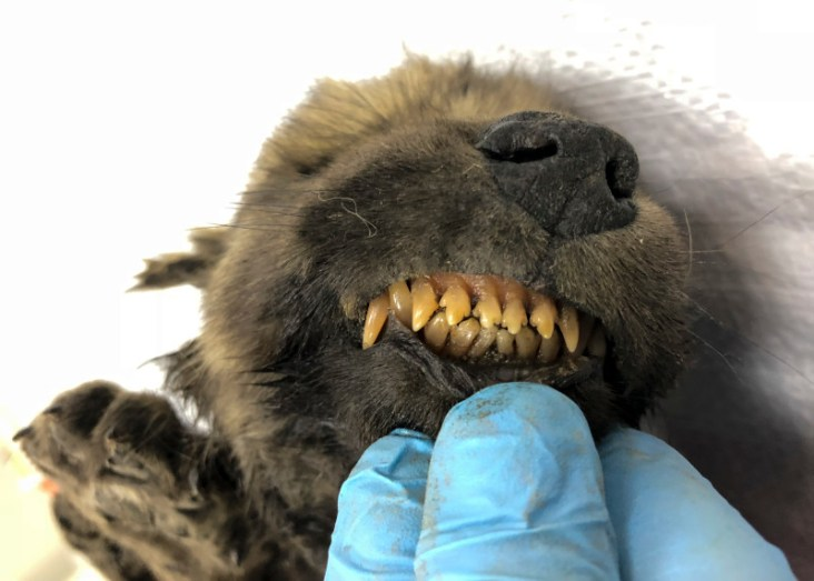 This is a handout photo taken on Monday, Sept. 24, 2018, showing a 18,000 years old Puppy found in permafrost in the Russia's Far East, on display at the Yakutsk's Mammoth Museum, Russia. Russian scientists have presented a unique prehistoric canine, believed to be 18,000 years old and found in permafrost in the Russia's Far East, to the public on Dec. 2, 2019.
