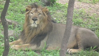 LaCONES-CCMB releases guidelines for COVID-19 testing in zoo animals