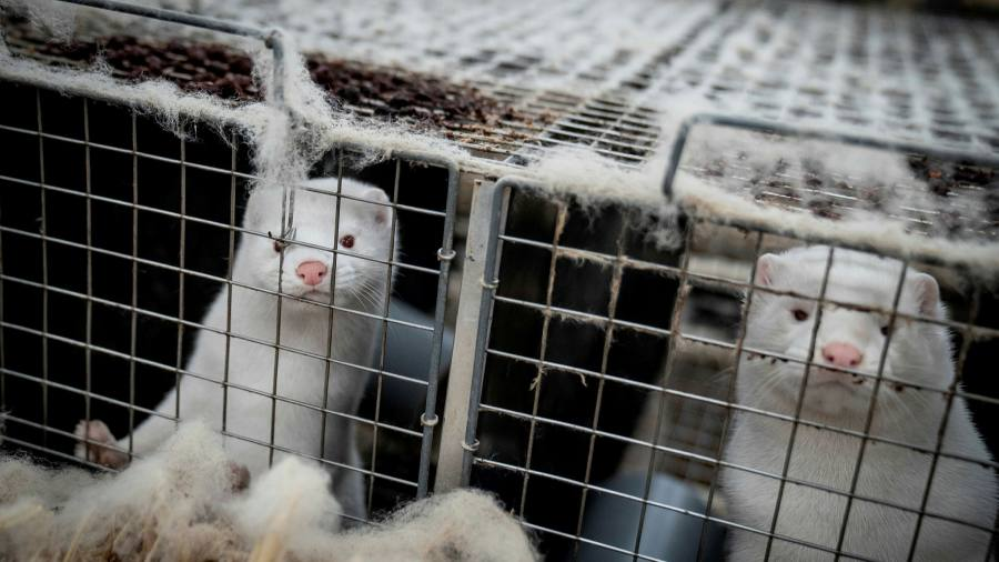 Danish Minister resigns over mink row
