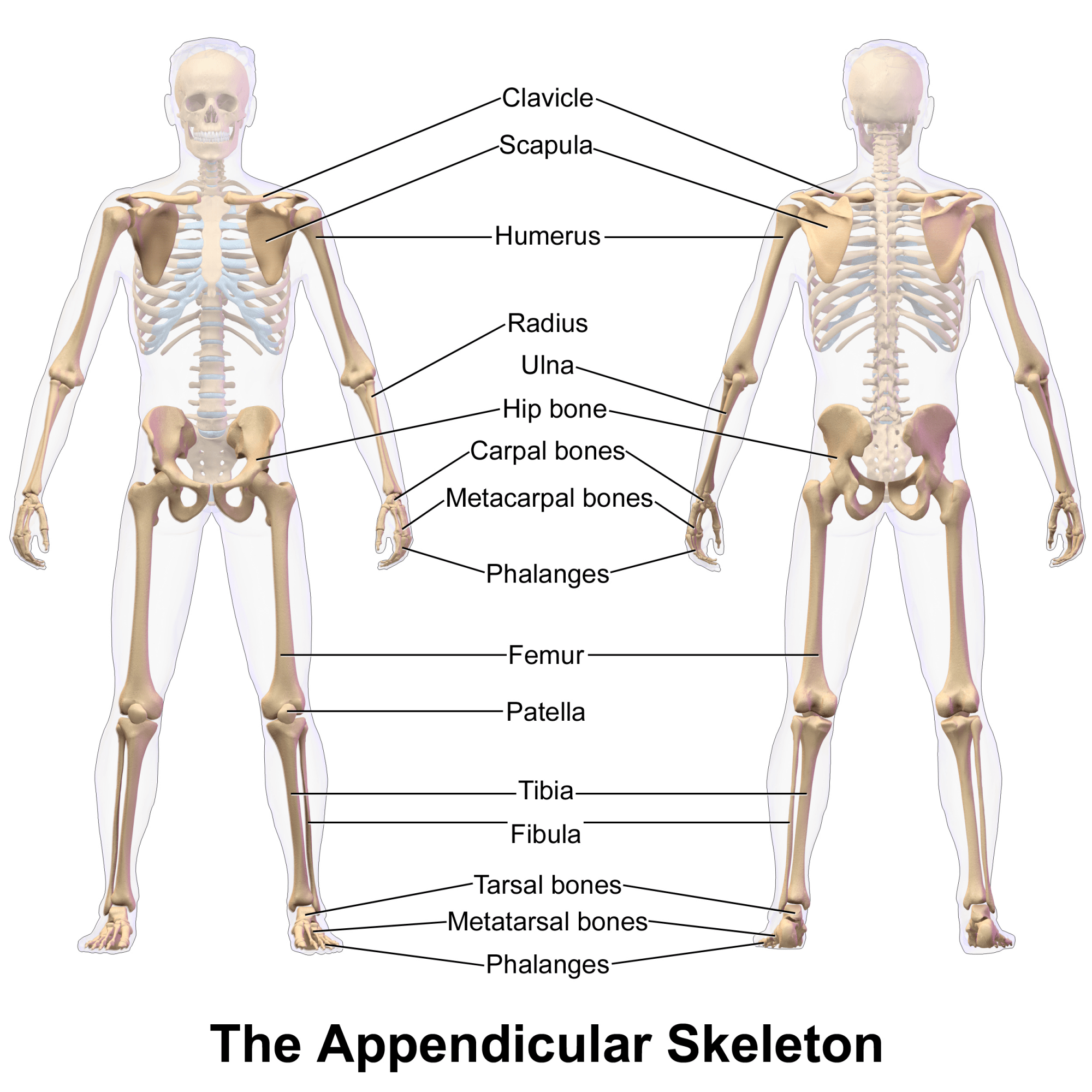 The Appendicular Skeleton Of Human Body