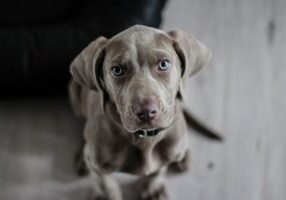 weimaraner-puppy-dog-snout-97082 (Copy)