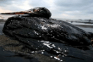 Oil-on-wild-Life-oil-spill-wildlife-endangered