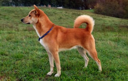 Canaan Dog – Dog Breed Info
