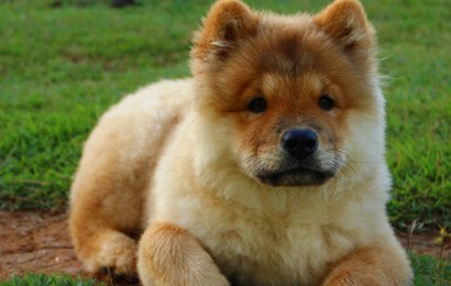 Chow Chow Puppy and Dog Information
