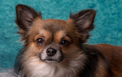 What you Need to Know About Chihuahua Breeding