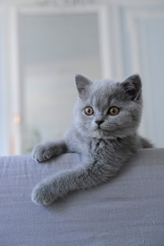 british-shorthair-decontract-2