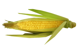 What is Maize andCorn in Hindi