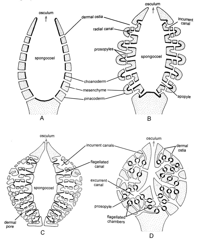 Canal System of Sponges: (A)Ascon Type (B) Simple Sycon Type (C) Complex Syconoid Type (D) Leucon Type