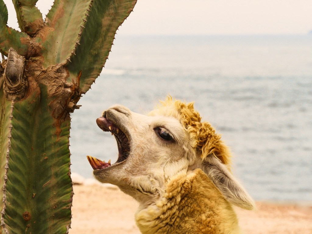 Alpaca eating cactus