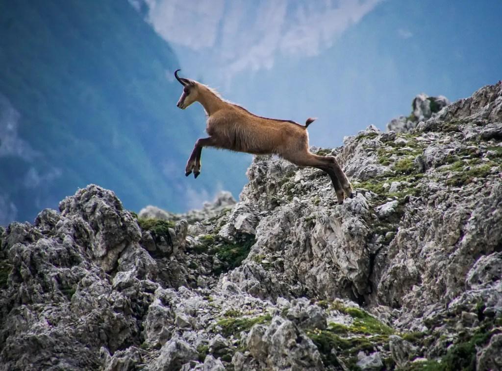 Chamois (an agile goat-antelope) jumping between mountain cliffs