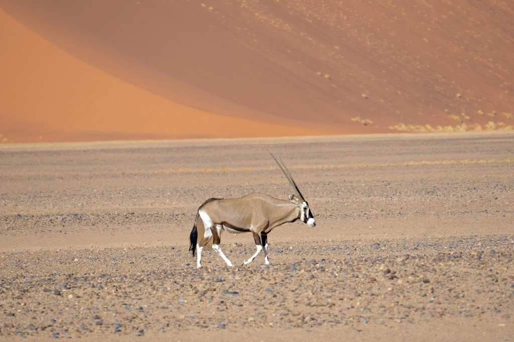 Desert Animal Oryx (A Large Antelope)