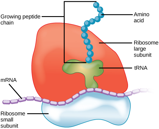Structure of Ribosome