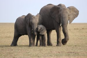 How & Why Are Elephants Keystone Species? How Do They Act As Keystone Species? – (Let's Know)