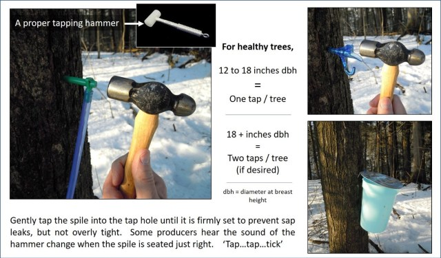"""The first image is of someone using a small metal hammer to hammer a spile into a maple tree. The inset shows a proper tapping hammer, which is a rubber mallet. The second image shows the hammer tapping in a blue spout with a hook. The third image shows a blue bucket with a lid hanging from a tree. The caption says: """"for healthy trees, 12 to 19 inches dbh = one tap/tree. 18 + inches dbh = two taps/tree (if desired). dbh = diameter at breast height. Gently tap the spile into the tap hole until it is firmly set to prevent sap leaks, but not overly tight. Soem producers hear the sound of the hammer change when the spile is seated just right. """"Tap... tap... tick""""."""