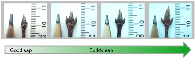 "Four photos of sugar maple buds in a progression of development. A pencil and a ruler are provided for scale; the maple bud starts out the size of the graphite pencil tip and grows to twice the size by the last photo. An arrow under the photos says ""good sap"" under the small bud and ""buddy sap"" between the second and third photos."