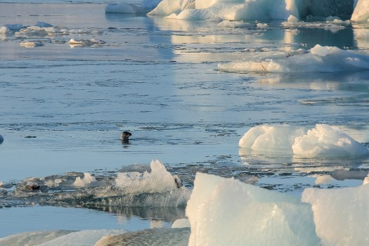 Islande - Jokulsarlon phoque