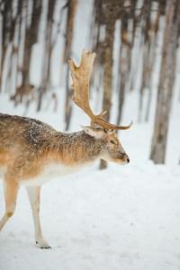 Cerf de profil dans le parc oméga au Québec en hiver