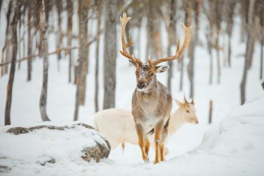 Cerf dans le Parc Oméga au Québec en hiver