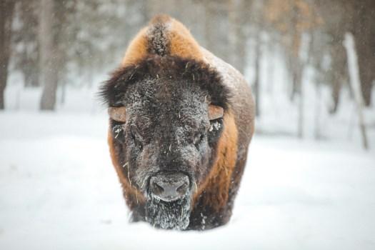Bison sous la neige dans le Parc Oméga au Québec en hiver