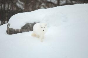 Renard arctique sous la neige dans le parc Oméga en hiver