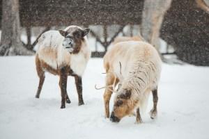 Animaux dans le parc Oméga sous la neige en hiver
