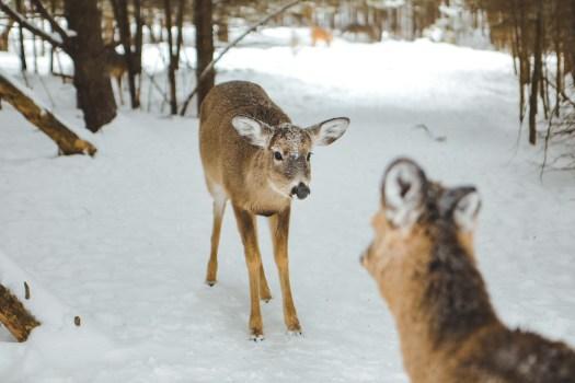 Cerfs de Virginie sous la neige dans le Parc Oméga au Québec