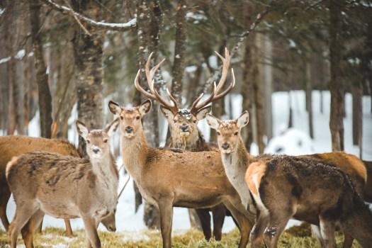 Cerfs sous la neige dans le Parc Oméga au Québec en hiver