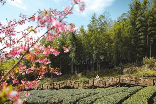 Alishan thé et cerisiers en fleurs Taïwan