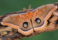 Polyphemous moth by Cathy Keifer