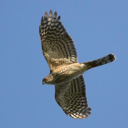Sharp-shinned Hawk photo by S. Kolbe