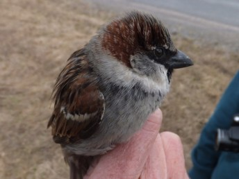 The House Sparrow is removed.