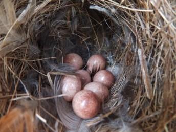 House Wren eggs.