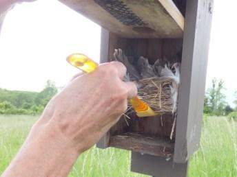 Checking for blowflies.