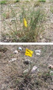 Examples of grazed spotted knapweed. The stem ends are grazed off the top plant, and leaves are stripped from the stems of the bottom plant.