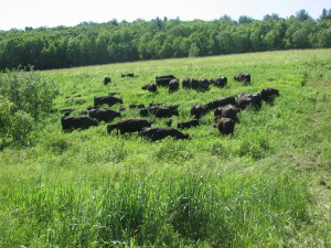 Morgan Hartman took this photo of his cattle grazing bedstraw in pasture.