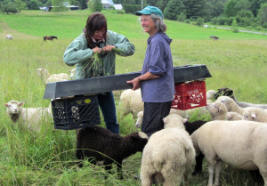 Kathy Voth and Kimberly Hagen teaching sheep to eat Bedstraw