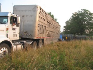 Trucking Cattle