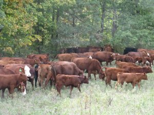 Fall Cattle Grazing