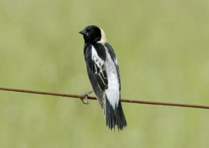 Bird on a wire. Bobolink populations are down by 40% because of pressures on grasslands. Intensive mowing leaves no time for young birds to mature long enough to survive.