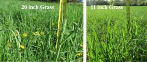 20inch_grass