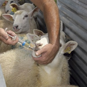 From Premier 1's website on how to drench sheep in a handling chute (http://www.premier1supplies.com/sheep-guide/2012/07/how-to-drench…using-a-chute/)