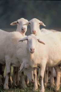 St. Croix sheep have shown resistance to parasites and tolerance to hot weather.  Photo courtesy of ARS photo gallery