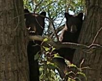 Two of our neighborhood bears