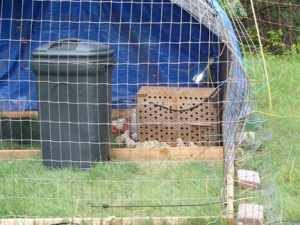 Chicks in the hoop house