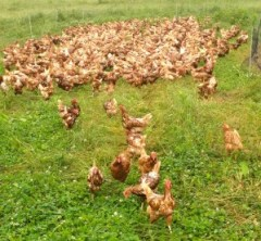 """Forrest's 1,100 """"mob"""" of free-range egg-layers."""