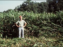 Sorghum sudangrass taller than 36 inches produces stemmy, low-quality forage.  Photo courtesy of Missouri Extension