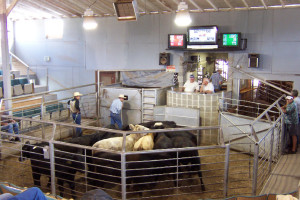 Photo courtesy of Perry LIvestock Sales, Perry, OK