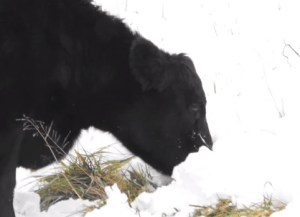 Even when the Woodward farm had 30 inches of snow in 55 days, cattle did fine.  Also did well when the snow iced over.  They pawed and broke the crust.  Cows are in as good a shape as I've ever had them at this time of year.